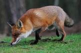Untersuchungen zum Wanderverhalten des Fuchses unter dem Aspekt seines Einflusses auf den Hasen mehr dazu...