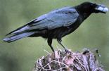 Untersuchungen zum Einfluss von Rabenvögelnauf die Bodenbrüter mehr dazu...