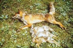 Die Kurzhaltung des Fuchses ist der entscheidene Faktor für die Hege des Hasen