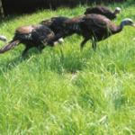 Durch Aussetzen von aufgezogenen Jungtieren konnte der Bestand stabilisiert werden.