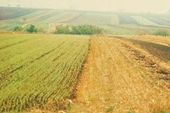 Der optimale Lebensraum des Rebhuhns ist die klein- parzellierte Feldflur