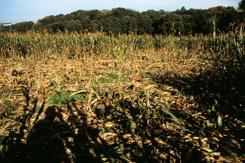 Schwarzwild- Schäden im Mais sind ein gravierendes Problem.