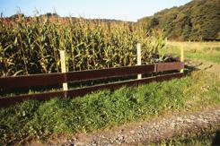 Durch Zäunung können Schäden im Mais oftmals nicht verhindert werden